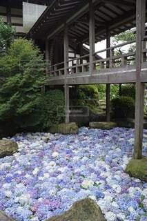 自然,花,雨,屋外,あじさい,樹木,紫陽花,初夏,梅雨,草木,アジサイ