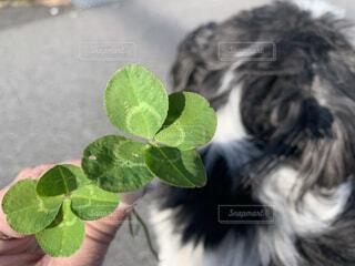 犬,後ろ姿,散歩,ペット,シーズー,四つ葉,草木
