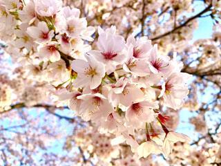 花,春,ピンク,葉,草木,桜の花,さくら,ブルーム,ブロッサム