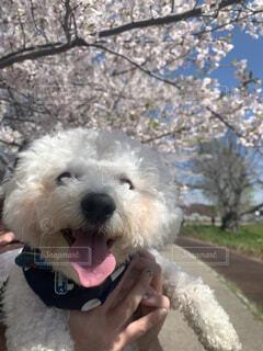 #桜,#ペット,#ビションフリーゼ,#sunny