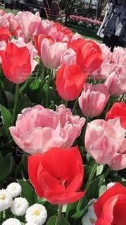 風景,公園,花,ピンク,緑,赤,白,カラフル,綺麗,アート,景色,チューリップ,いっぱい,広場,デザイン,たくさん,雰囲気,カラー,草木,パターン,ファブリック,赤紫色