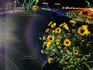 花,夜景,ひまわり