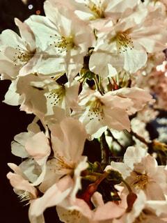 花,夜桜,草木,ブルーム,ブロッサム