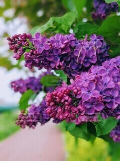 花,屋外,紫,ライラック,草木,ガーデン,フローラ