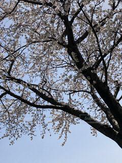 空,桜,屋外,綺麗,青空,樹木