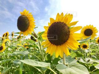 風景,空,花,夏,花畑,ひまわり,晴天,黄色,向日葵,草木