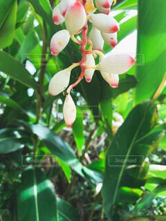 花,緑,草木,月桃,月桃の花,沖縄の植物,げっとう