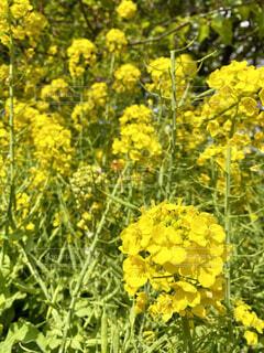 花,屋外,黄色,景色,樹木,草木,菜種,マスタード,フローラ