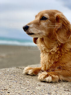 犬,海,動物,屋外,ビーチ,かわいい,海岸,地面,ミニチュアダックスフンド,愛犬