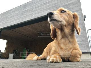犬,動物,ガレージ,茶色,景色,外,座る,ミニチュアダックスフンド,愛犬,garage