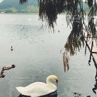 水の体で泳ぐ白鳥の写真・画像素材[4635612]