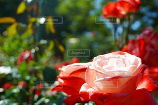 花,赤,バラ,薔薇,樹木,快晴,草木