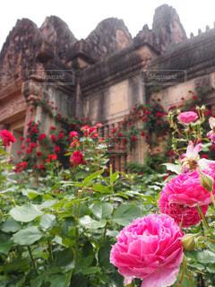 花,屋外,ピンク,バラ,薔薇,小さなしあわせ,草木,非日常,明日も大事に