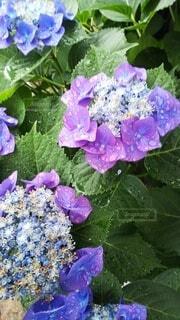 花,雨,あじさい,青い花,紫陽花,雨粒,6月