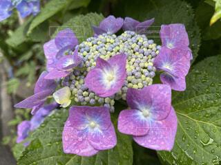 花,屋外,紫,雨上がり,梅雨,草木,ブルーム,フローラ