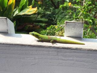 歩道の爬虫類の写真・画像素材[4519907]