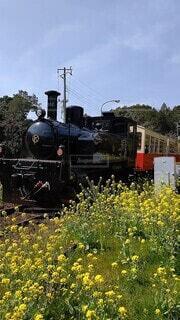 菜の花とトロッコ列車の写真・画像素材[4509765]