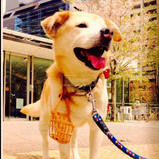 桜を愛でる犬の写真・画像素材[4510379]