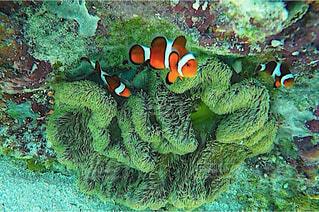 海中のカクレクマノミとイソギンチャクの写真・画像素材[4538329]