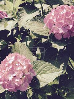ある日の雨上がりの紫陽花の写真・画像素材[4518102]