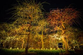 なばなの里のライトアップされた梅の木の写真・画像素材[4557826]