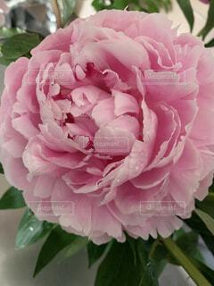 植物の上のピンクの花のクローズアップの写真・画像素材[4528664]