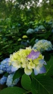 紫陽花や はなだにかはる きのふけふの写真・画像素材[4557445]