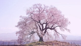 わに塚の桜の写真・画像素材[4571075]