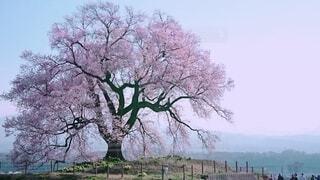 夜明けを待つ桜の写真・画像素材[4607394]