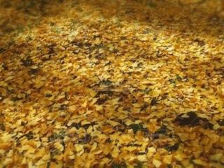 一面の銀杏の落葉の写真・画像素材[4652239]