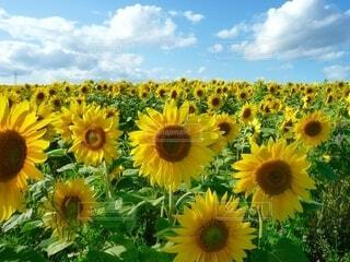 ひまわり畑の写真・画像素材[4657217]