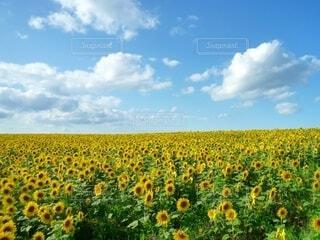 ひまわり畑の写真・画像素材[4657237]