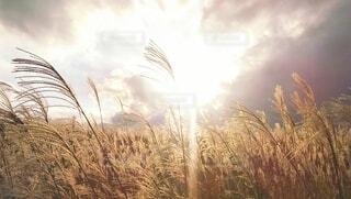 西日に輝くすすき野原(ミルクティー色フォト)の写真・画像素材[4907899]