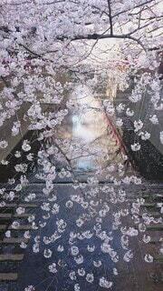 花,春,桜,晴れ,青空,川,水面,花びら,満開,樹木,お花見,生物,目黒川,リフレクション,散る,ちょうちん,流れ,花筏,花弁,舞う,テキスト,川面,まつり,ぼんぼり,流れる