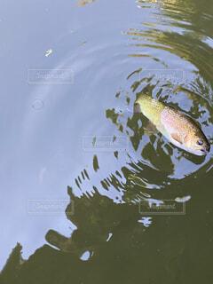 泳ぐニジマスの写真・画像素材[4528328]
