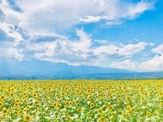 満開の向日葵の写真・画像素材[4658034]