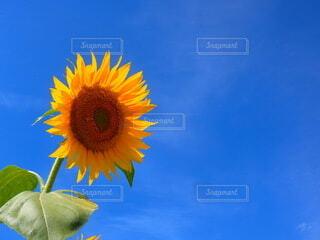 青空と一輪の向日葵の写真・画像素材[4658042]