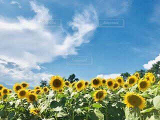 青空に咲く向日葵の写真・画像素材[4785016]