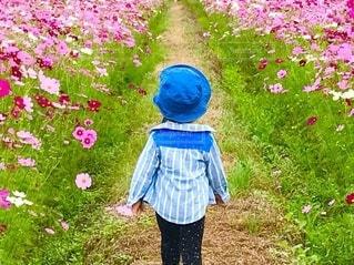 コスモス畑でお散歩の写真・画像素材[4822221]