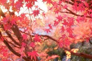 夕陽に映える紅葉の写真・画像素材[4830423]
