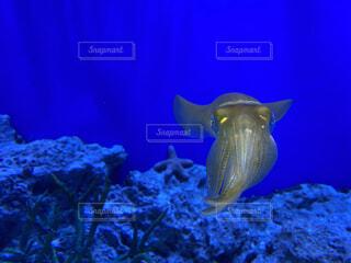 深海で光る烏賊の写真・画像素材[4532702]