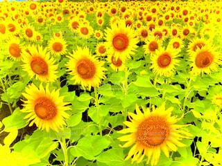 ひまわり畑の写真・画像素材[4522381]