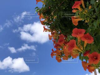 青空に咲くノウゼンカズラの写真・画像素材[4564873]