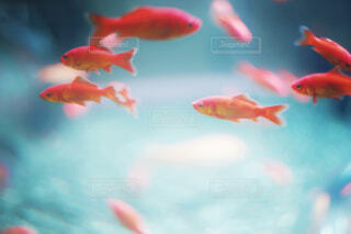 金魚たちの写真・画像素材[4526233]