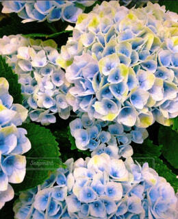 艶っぽい紫陽花の写真・画像素材[4559010]