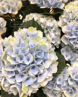 散歩道の紫陽花の写真・画像素材[4559065]