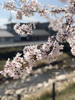 桜と川のコントラストの写真・画像素材[4527593]