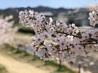 山桜を間近での写真・画像素材[4527596]