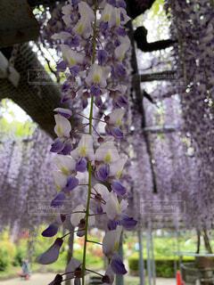 キレイなフジの花の写真・画像素材[4526597]