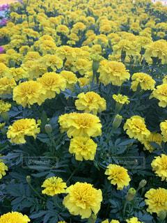 綺麗に咲いたマリーゴールドの写真・画像素材[4530692]